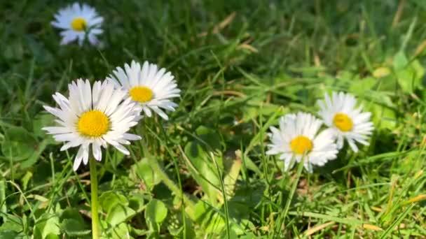 zblízka malých bílých květin na travnaté louce foukající ve větru
