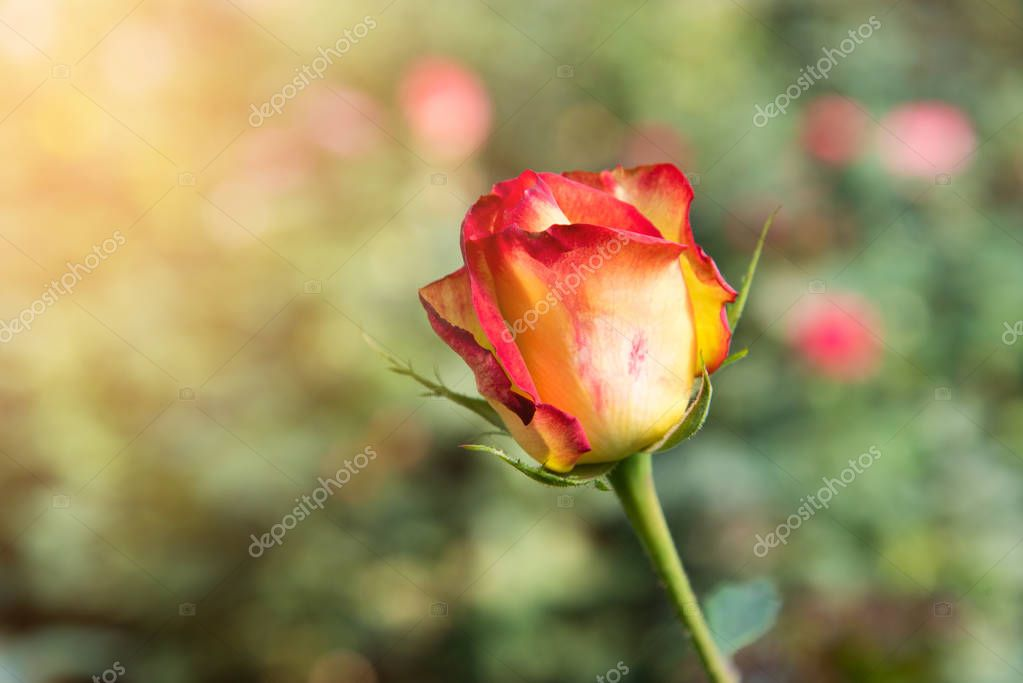 Yellow, orange with red stripes rose flower