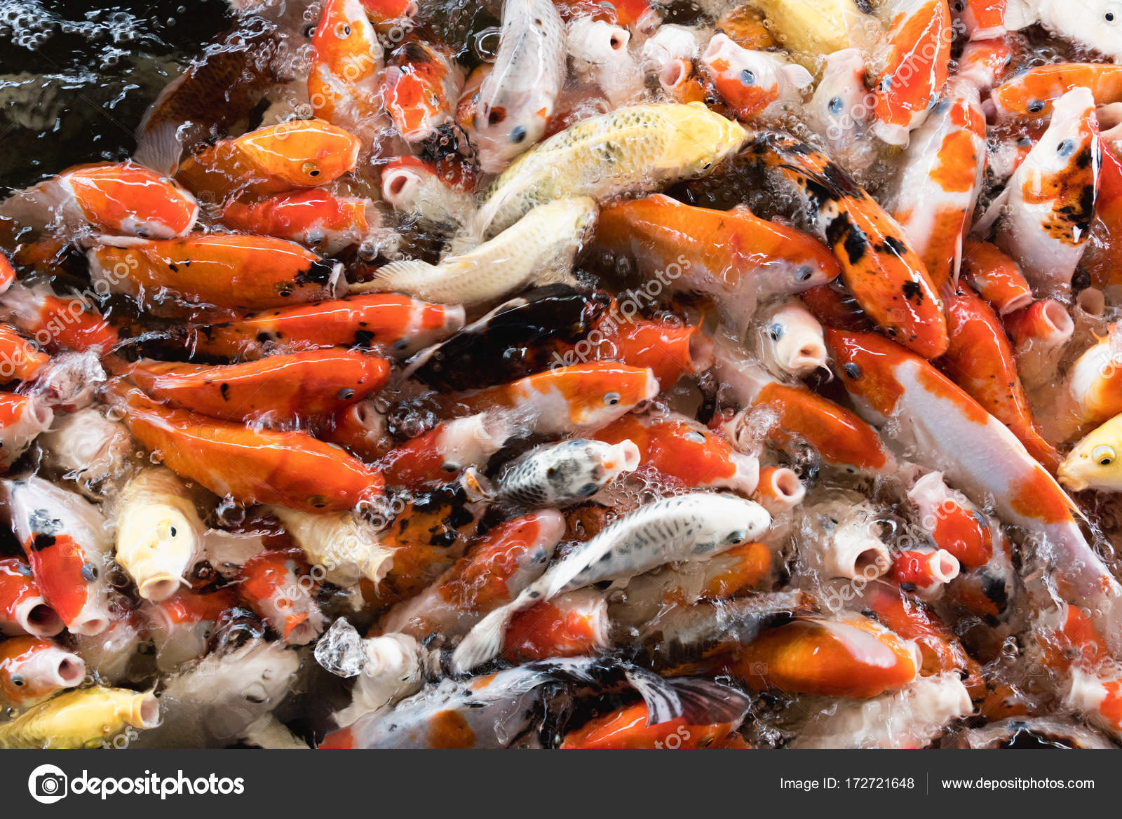 Peixes coloridos extravagantes carpa carpa stock photo for Comida para koi