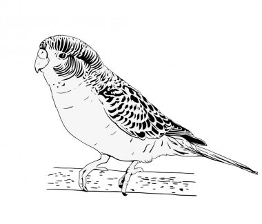 Wavy parrot sketch