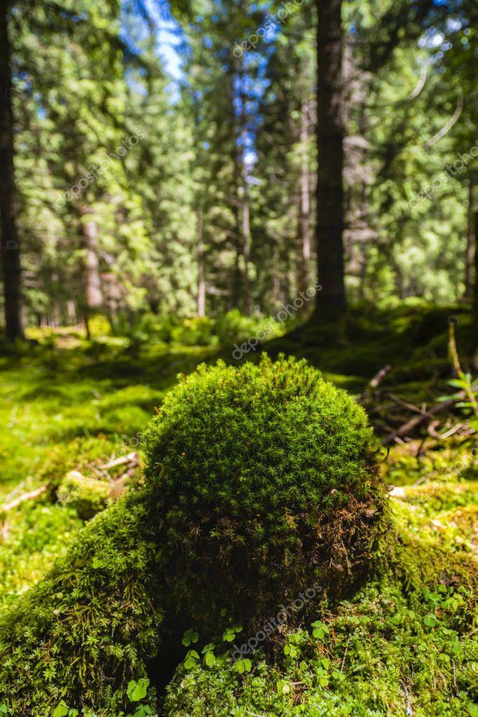 небесное фото и описание мхов в сосновых лесах пожарной безопасности пословицы