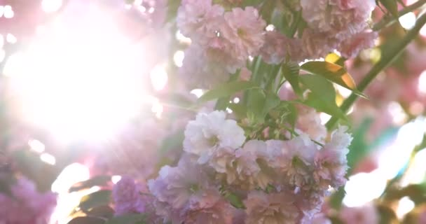 Sunbeams shining among Japanese cherry blossoms in the wind