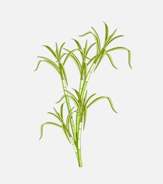 Field Sugarcane Vector