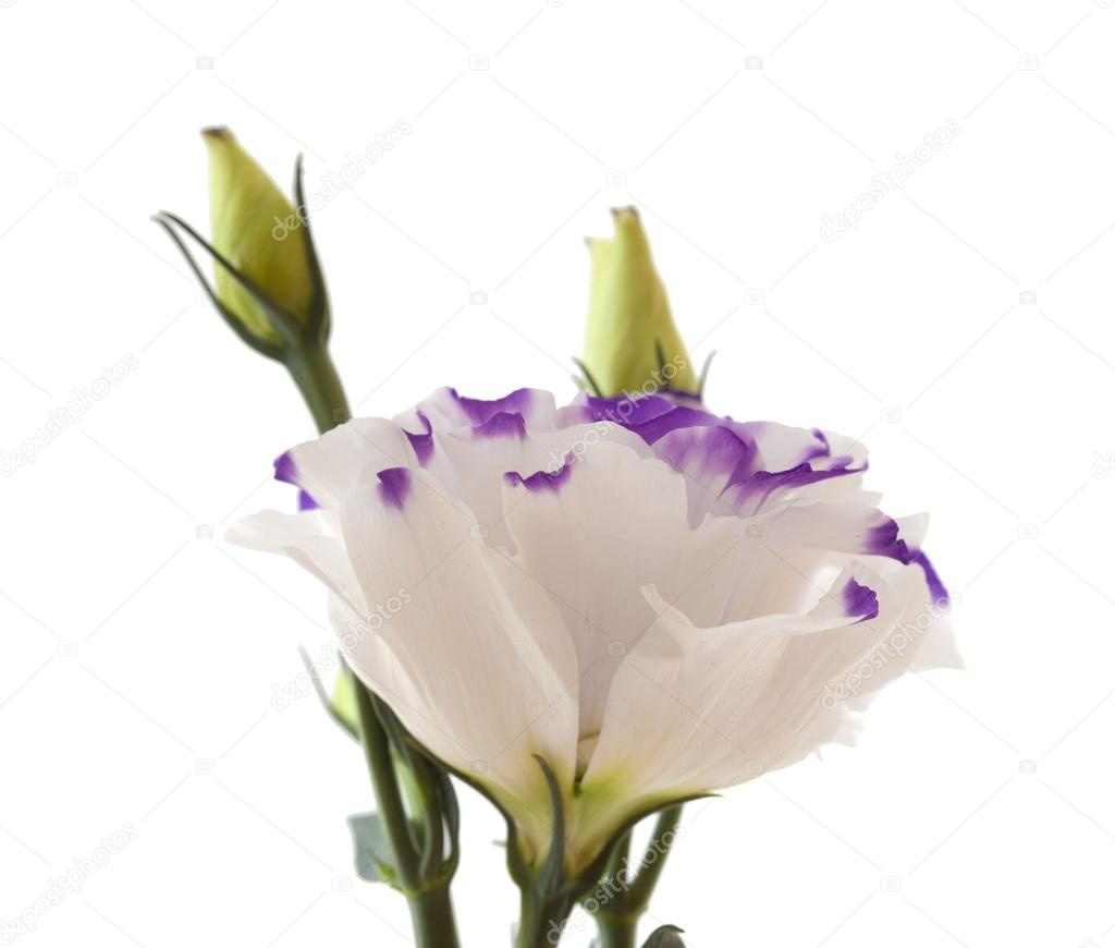 White and blue lisianthus flower isolated on white stock photo white and blue lisianthus flower isolated on white stock photo altavistaventures Choice Image