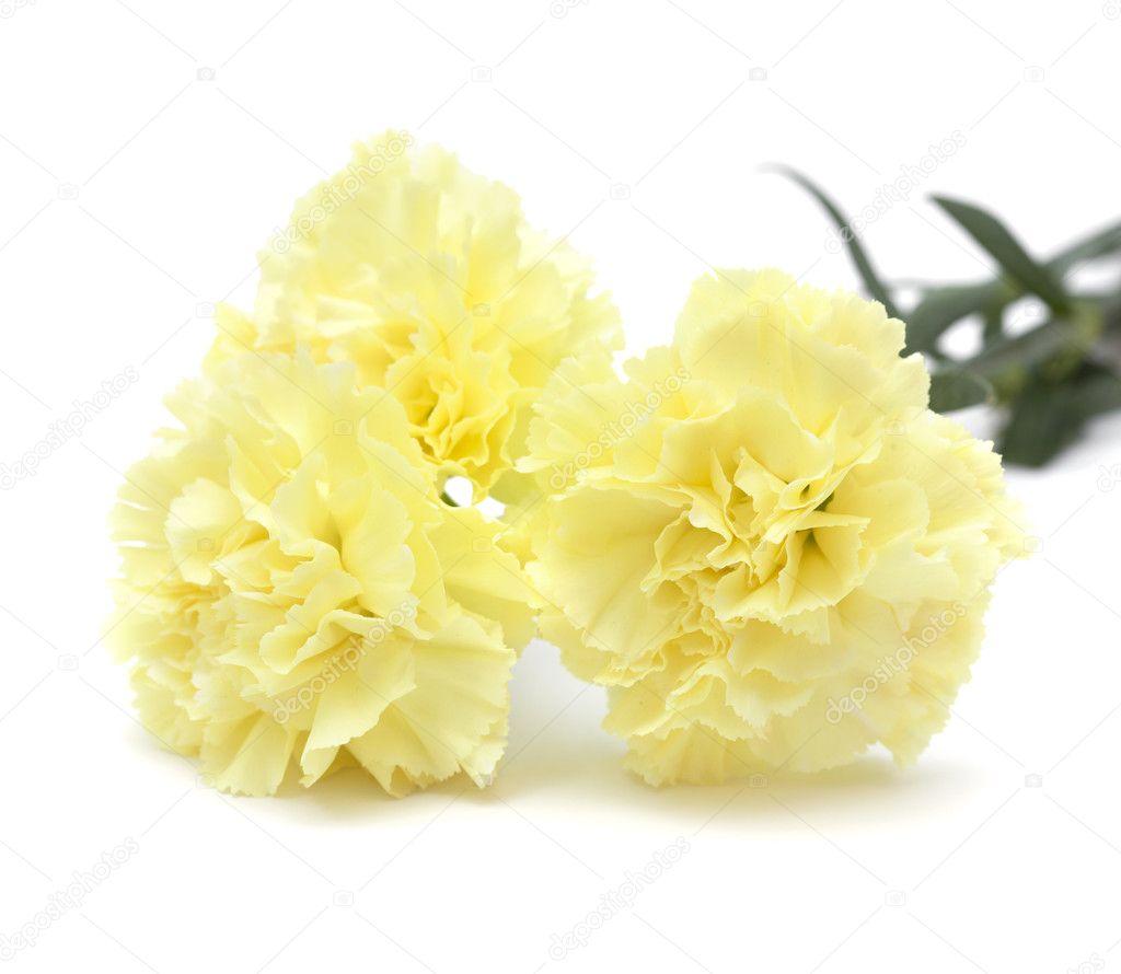 Pale yellow carnation flowers isolated stock photo tamarak pale yellow carnation flowers isolated stock photo mightylinksfo