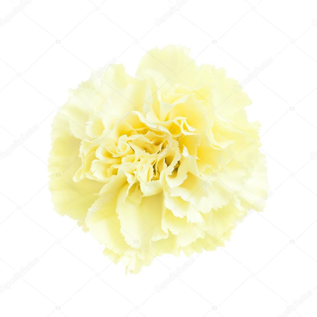 Pale Yellow Carnation Flowers Isolated Stock Photo Tamarak