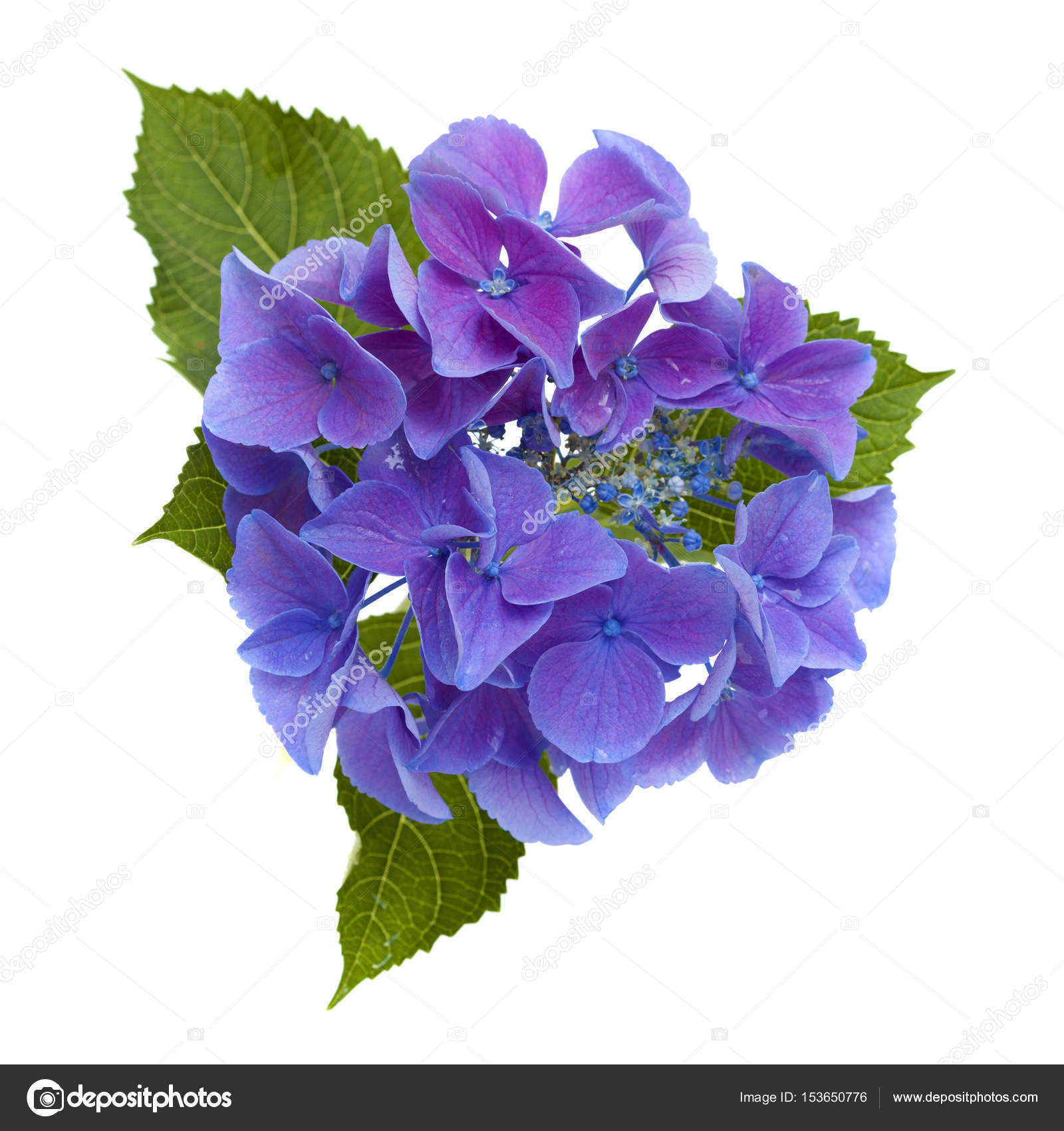 Ortensie Blu : Ortensie blu isolata — foto stock tamara k