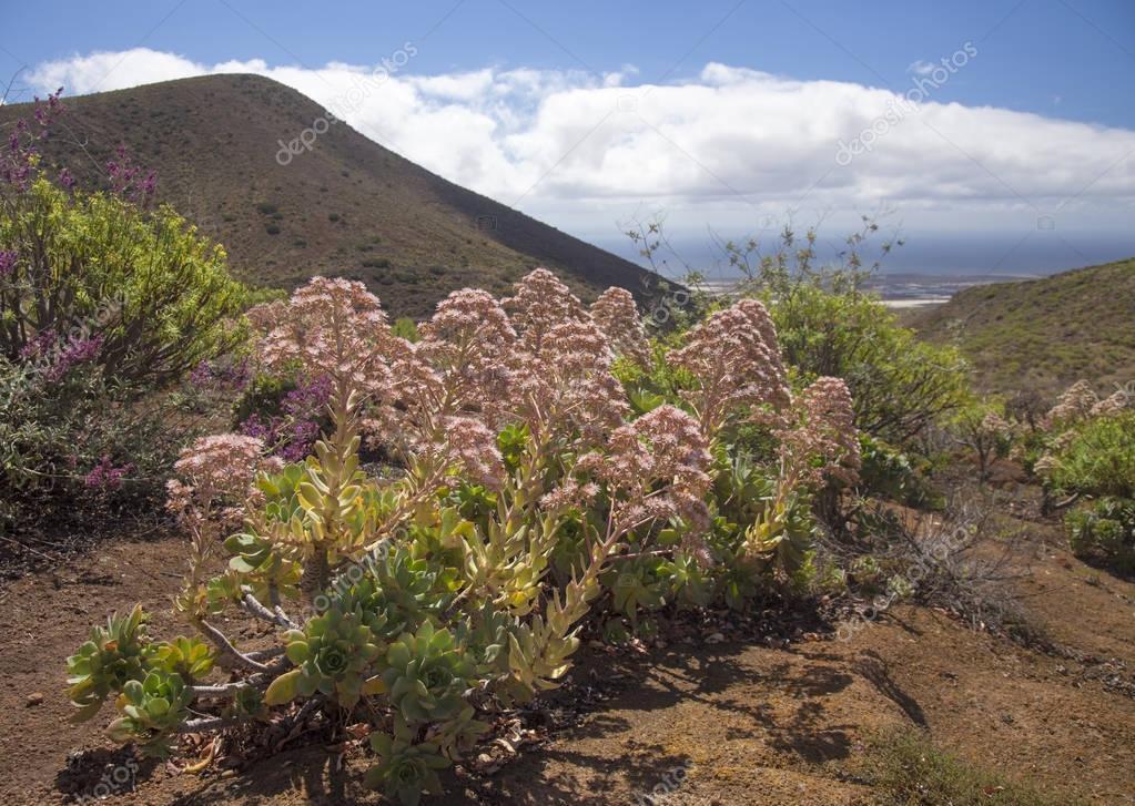 flora of Gran Canaria - Aeonium percarneum