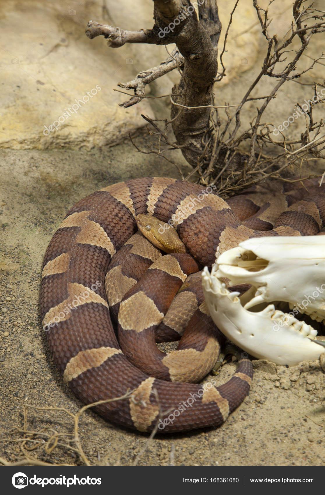 マムシ蛇のコイル — ストック写...