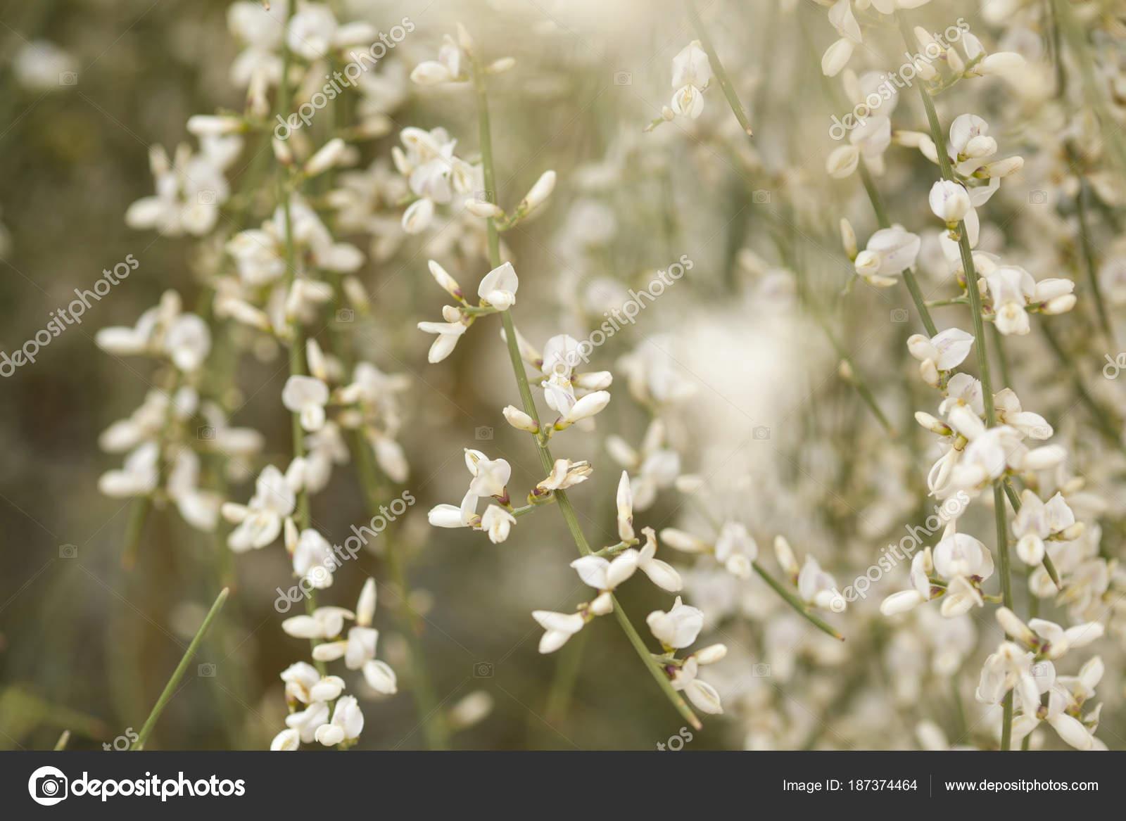 Fioritura Retama Rhodorhizoides Backgound Foto Stock Tamarak