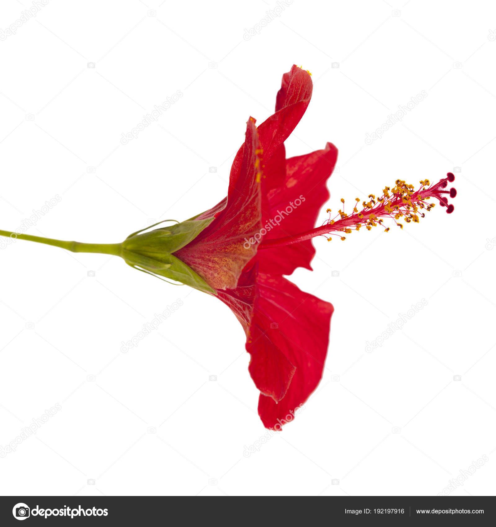 Red hibiscus flower isolated stock photo tamarak 192197916 red hibiscus flower isolated stock photo izmirmasajfo