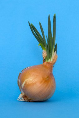 Sprouted onions on a blue background close-up
