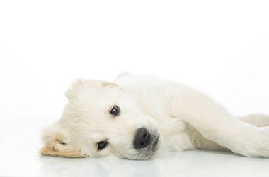 sad puppy lying on the floor