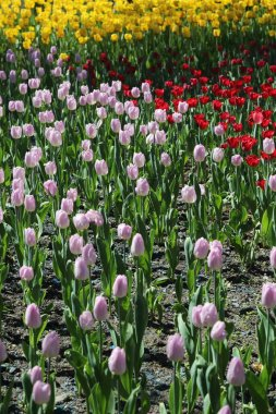 Beautiful tulips in a flowerbed at summer park in Moscow, Russian Federation. Selected focus.