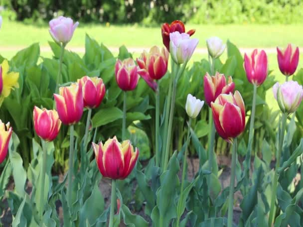 Motion of beautiful blossom tulips outdoor.
