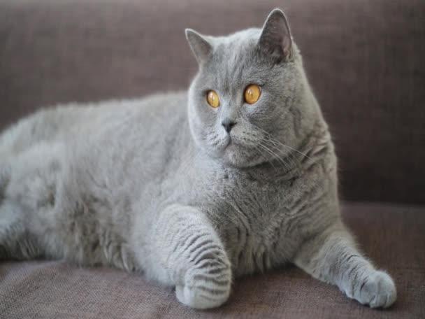 Lustige britische Katze. einfache Reihe von kurzen Filmaufnahmen, die durch einfache Montage verbunden sind.
