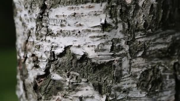 Birch tree bark. Macro motion. Selected focus. Blur background.