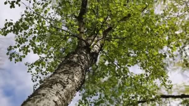 Friss zöld levelek egy nyírfán tavasszal. Kiválasztott fókusz. Homályos háttér.