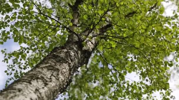 New fresh green leaves on a birch tree at spring time. Selected focus. Blur background.
