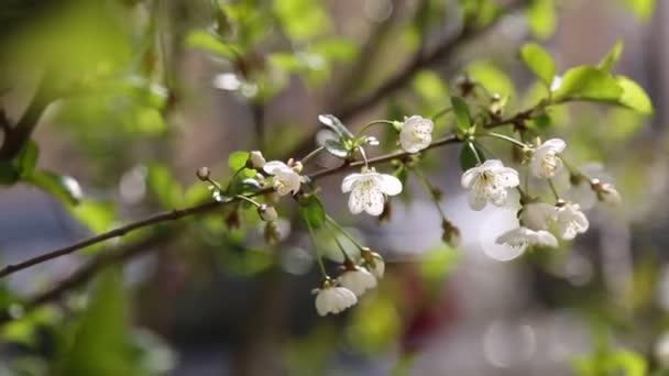 Fehér színű, gyengéd virágok virágoznak egy cseresznyefán. Kiválasztott fókusz.