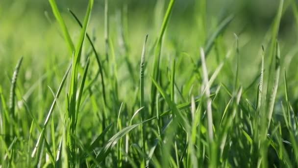 Outdoor kurzer Clip von neuem und frischem grünen Gras. Ausgewählte Schwerpunkte. Hintergrund verschwimmen.