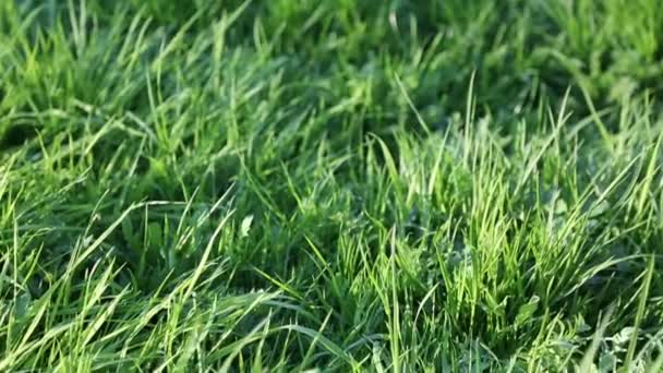 Outdoor short clip of new and fresh green grass. Selected focus. Blur background.