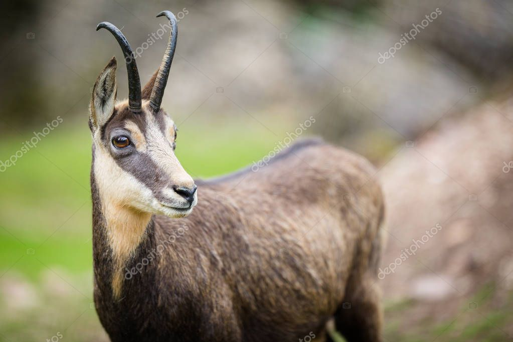 Chamois (Rupicapra rupicapra) within its natural habitat - high