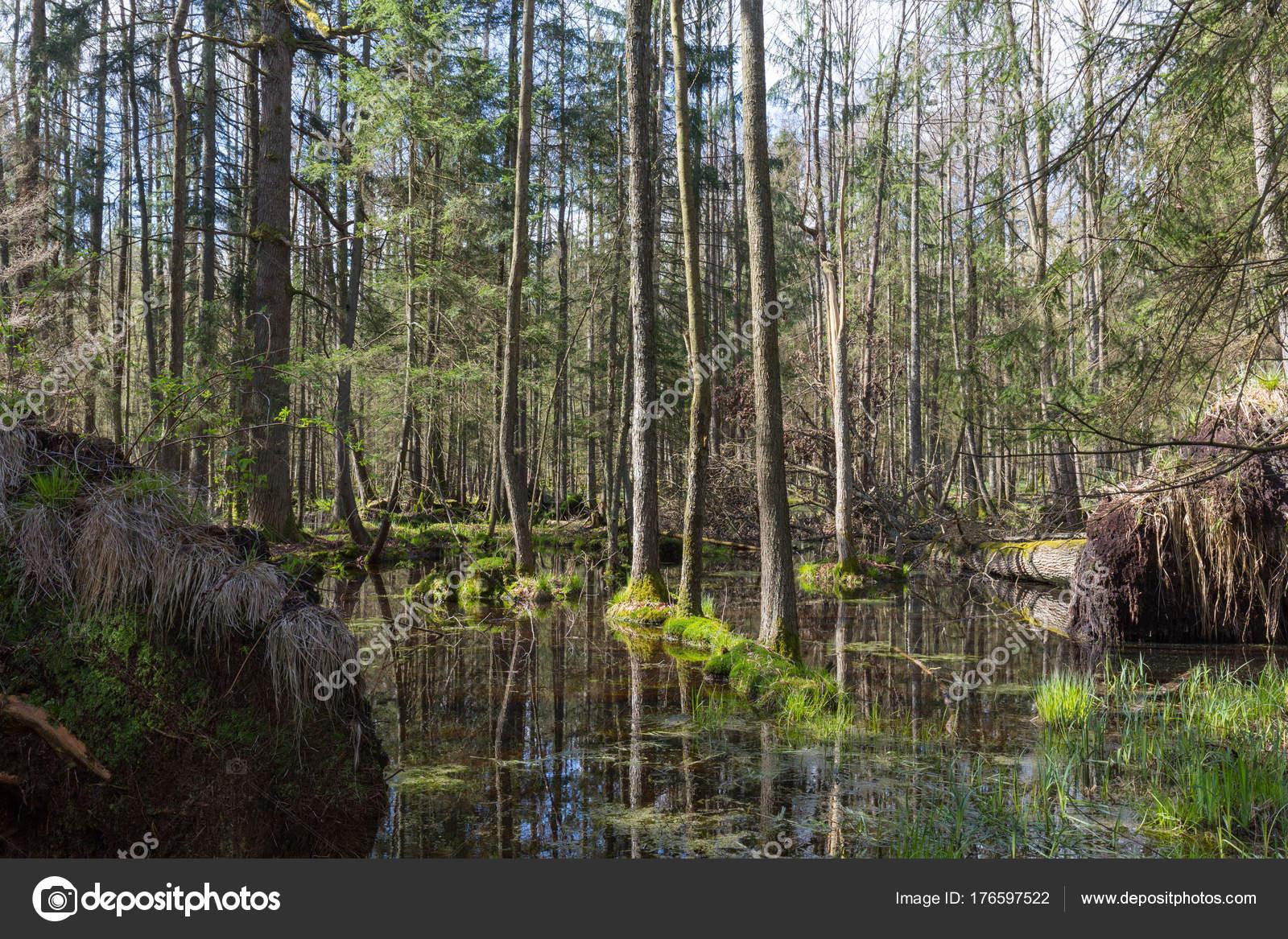 Bosque Pantano Aliso Primavera Con Agua Estancada Bosque Bialowieza Polonia Foto De Stock C Aleksander 176597522