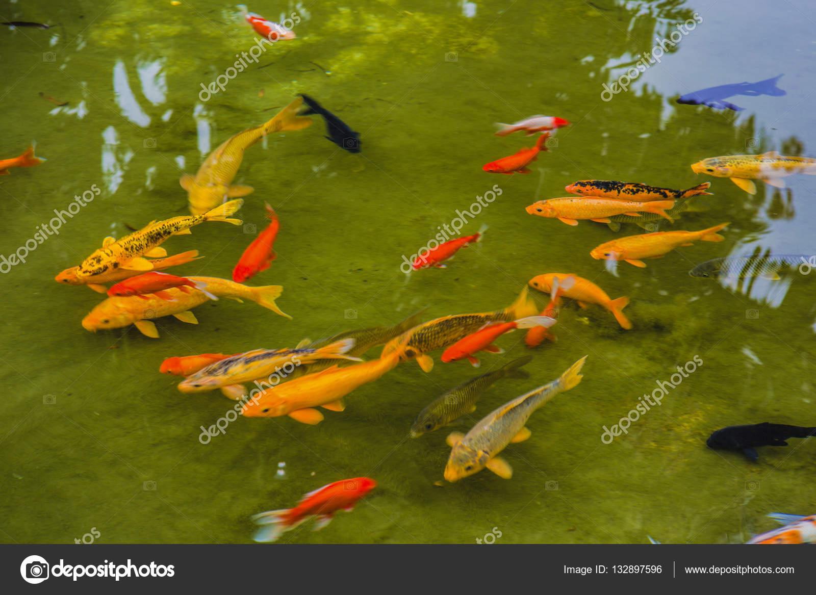 Vissen In Vijver : Vissen in de vijver u2014 stockfoto © 532906574.qq.com #132897596