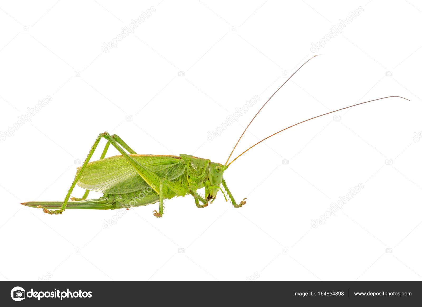 Groene sprinkhaan op een witte achtergrond stockfoto neryx groene sprinkhaan op een witte achtergrond stockfoto altavistaventures Image collections