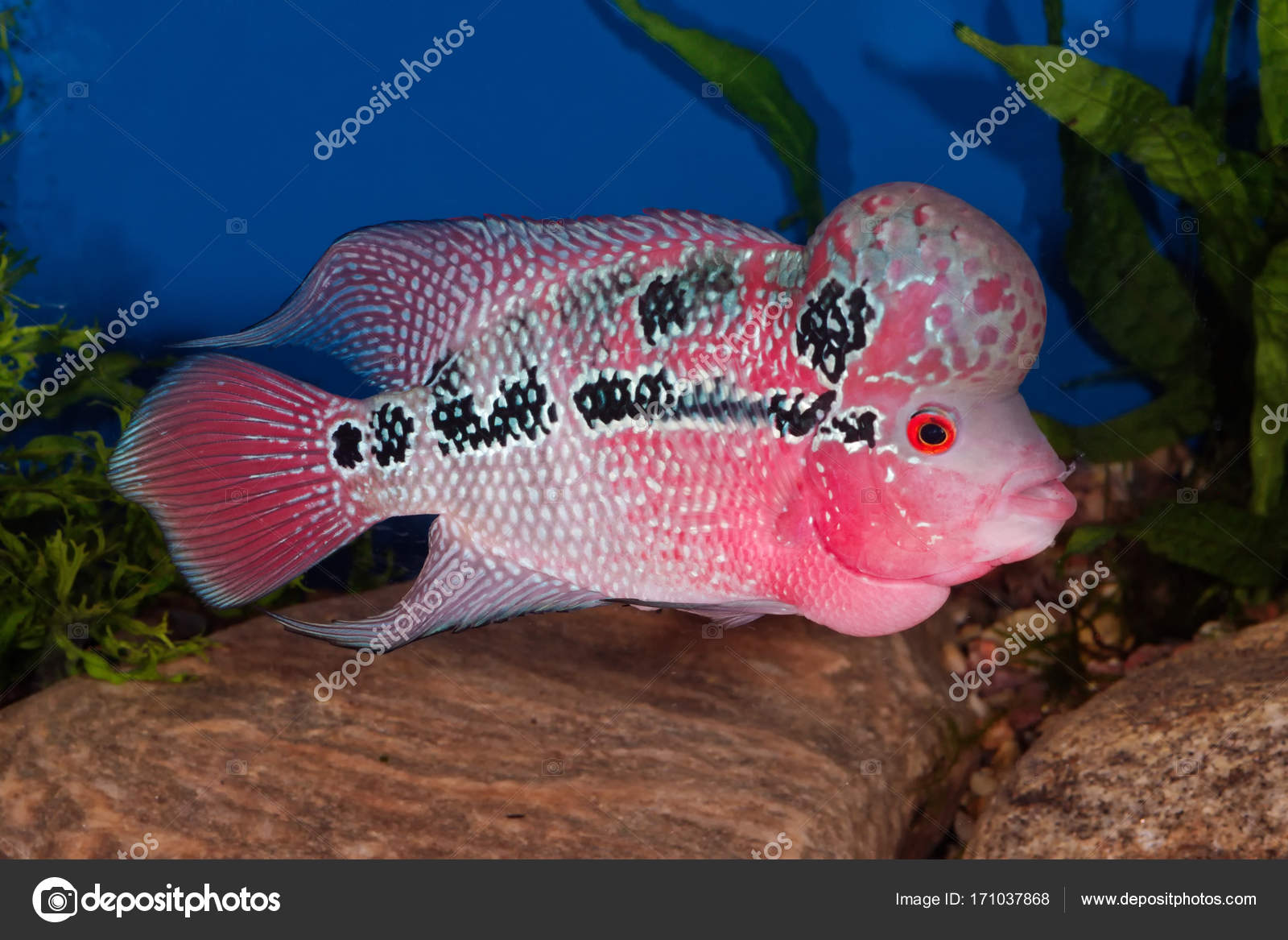 Flowerhorn fish in aquarium stock photo neryx 171037868 for Flower horn fish price