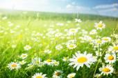 Fotografie field of daisy flowers