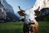 Photo Cow on Alps. Jungfrau region, Switzerland