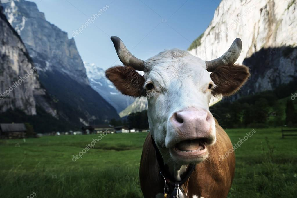Cow on Alps. Jungfrau region, Switzerland