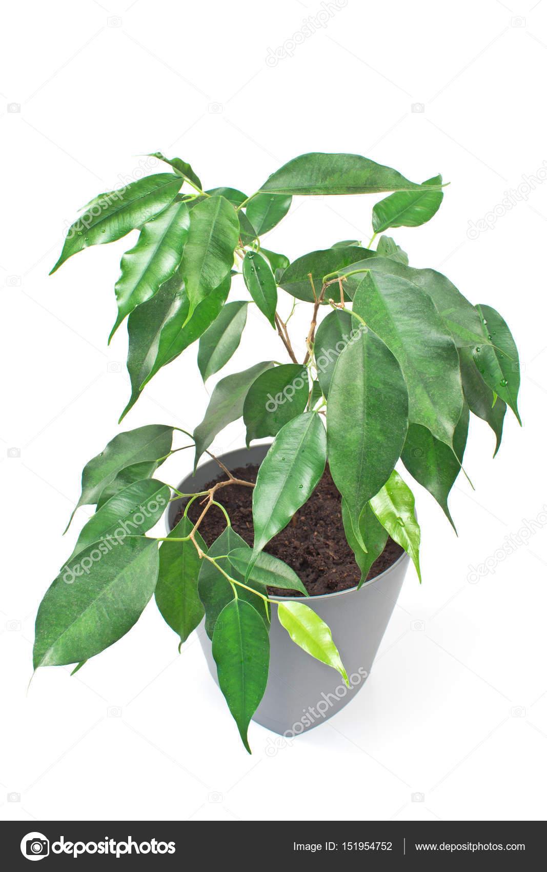 Pianta Di Ficus Benjamin In Pot Isolato Su Priorità Bassa Bianca U2014 Foto Di  Gavran333