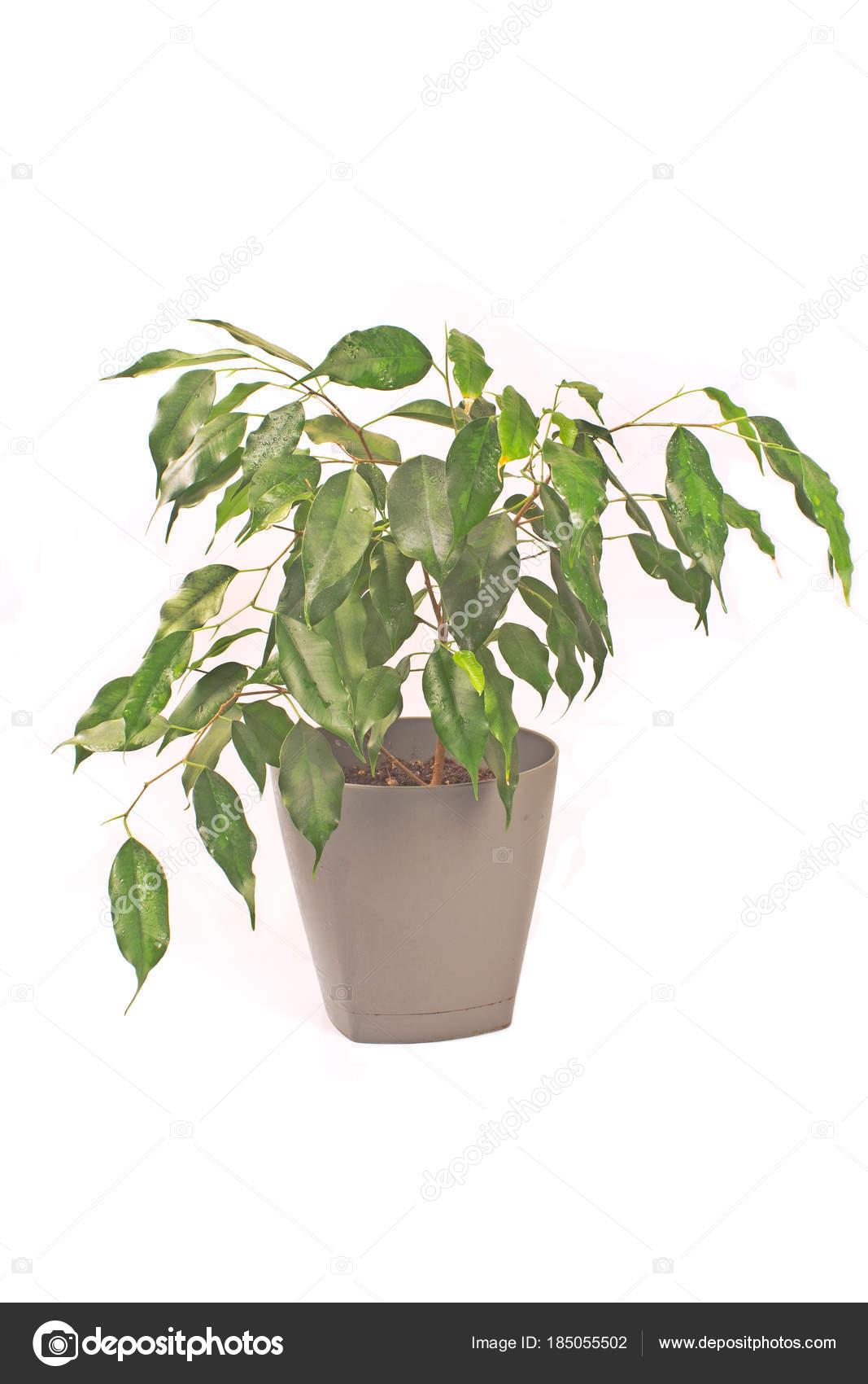 Pianta Di Ficus Benjamin Isolata Su Bianco U2014 Foto Stock