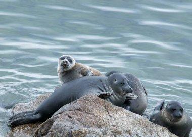The Baikal seal nerpa