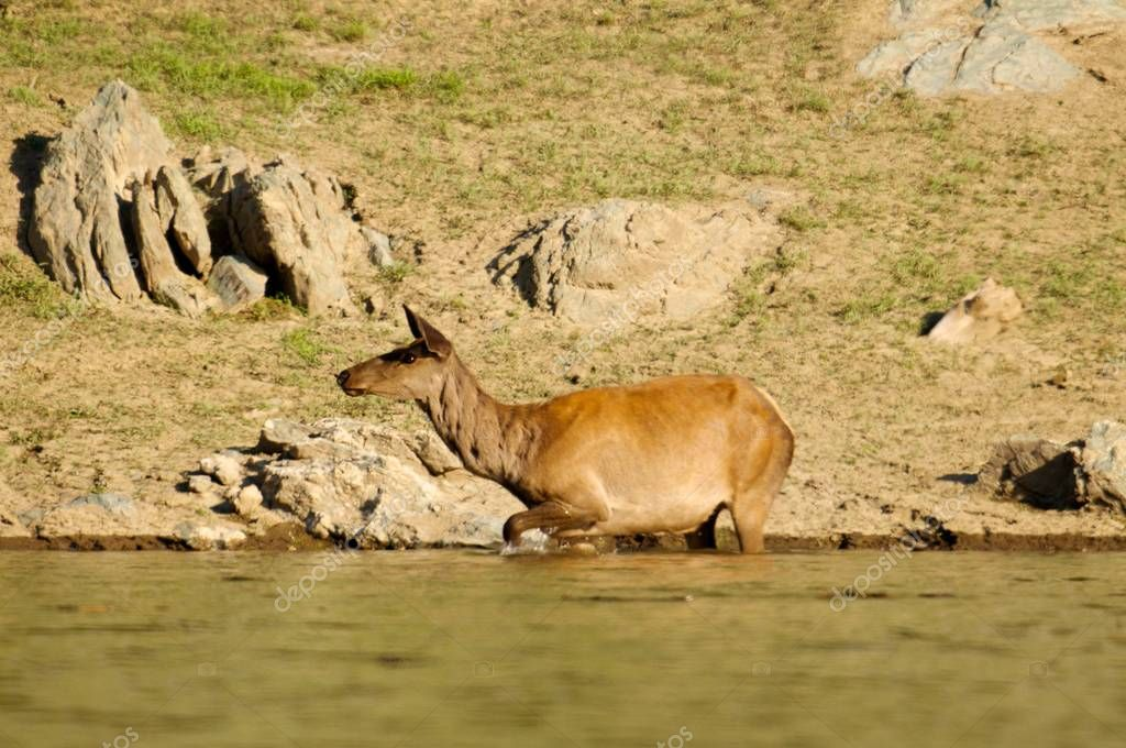 The deer at the watering place
