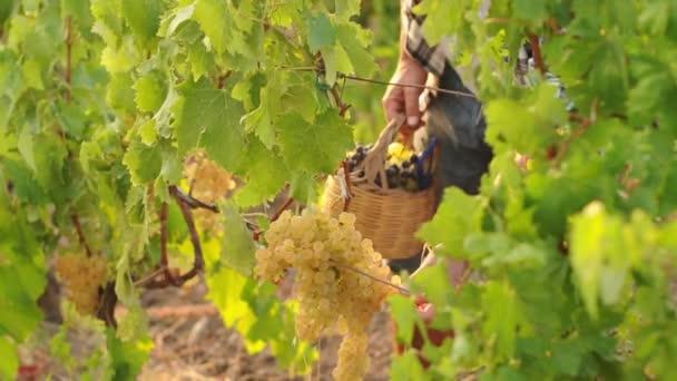 muž pracující na vinici