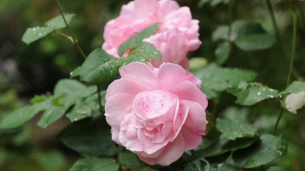 nové růžové růže