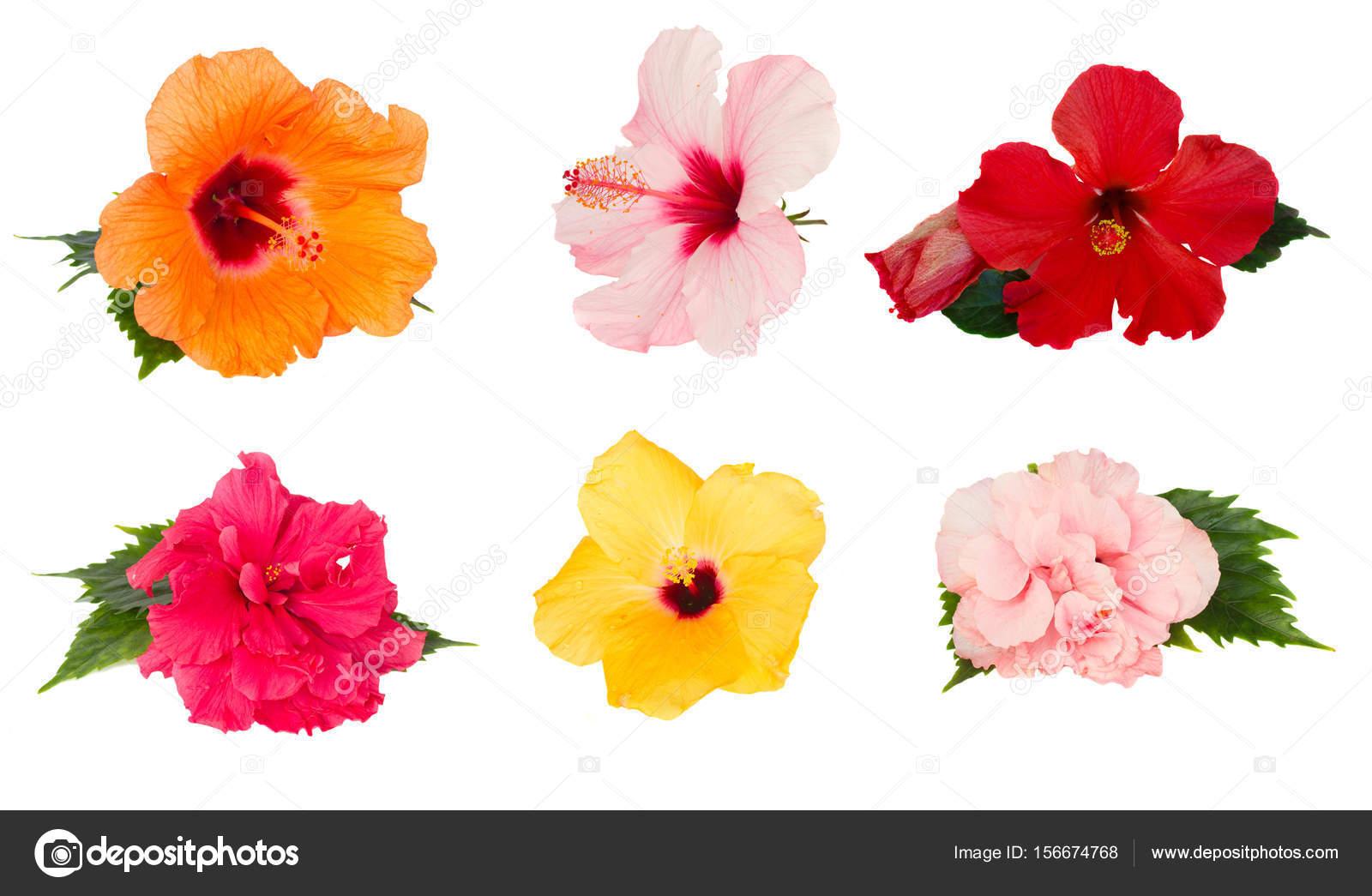 Orange Hibiscus Flower Stock Photo Neirfys 156674768