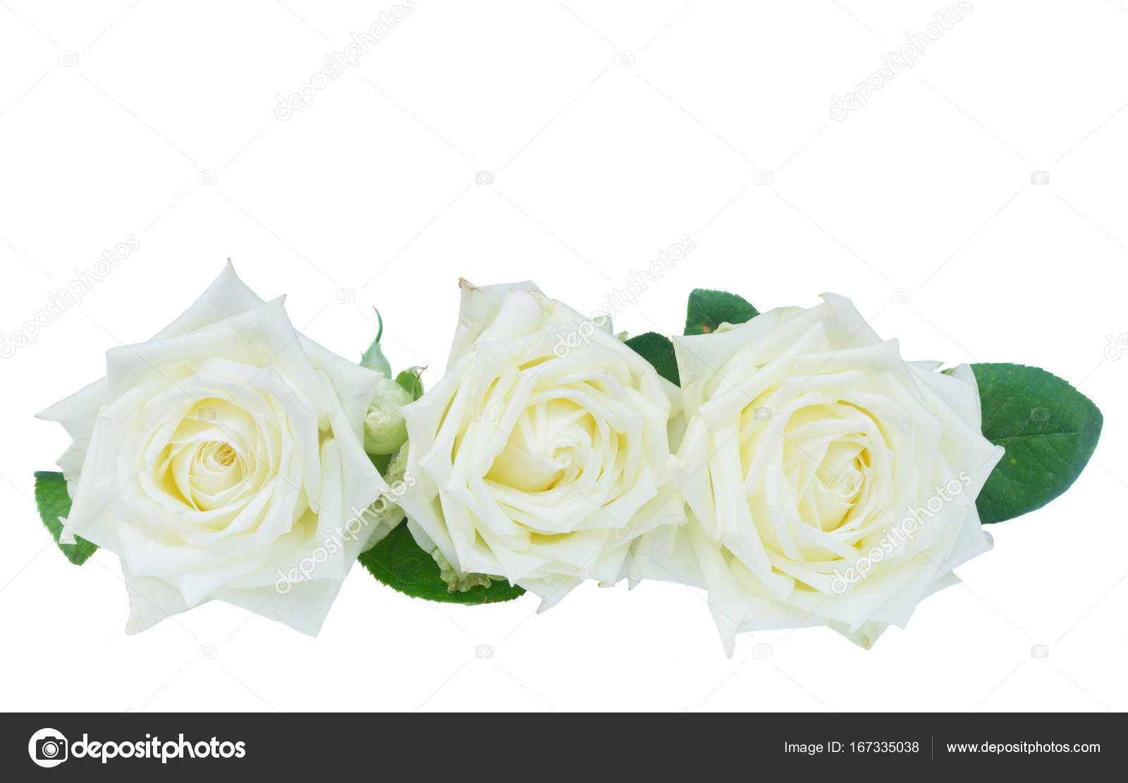 Białe Róże Kwitnące Zdjęcie Stockowe Neirfys 167335038