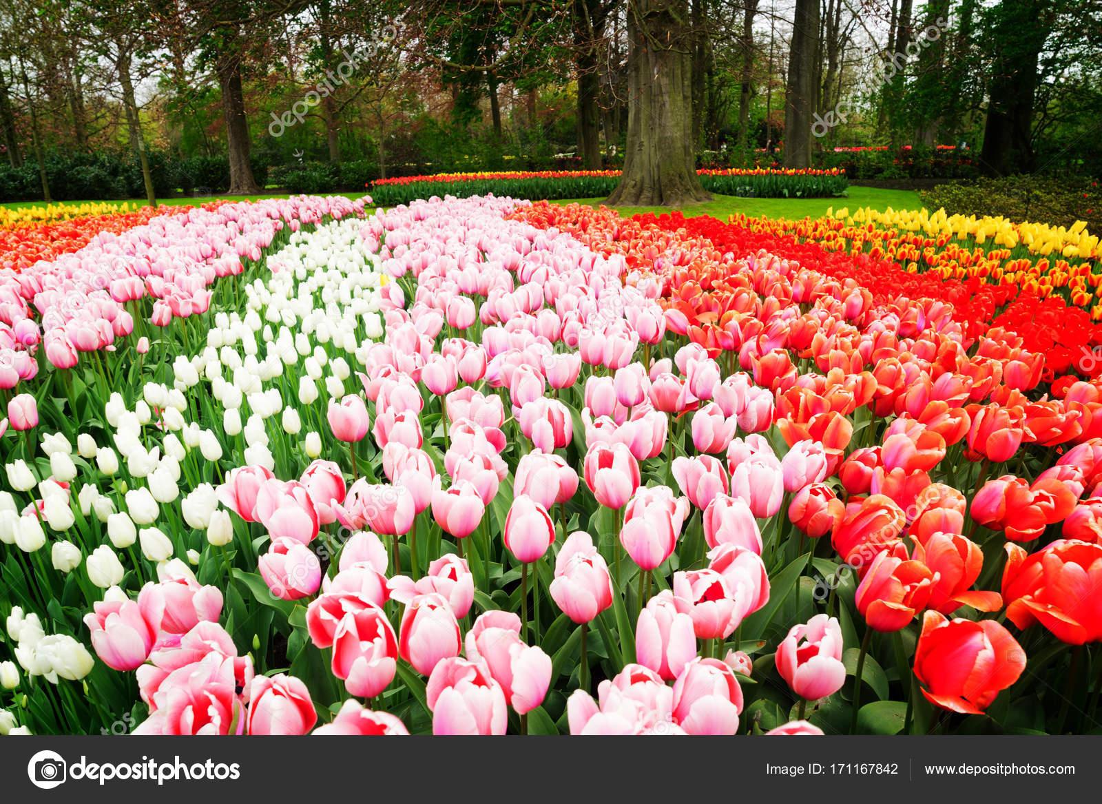 9bec9d0366a4 Filas de flores de tulipán — Foto de stock © Neirfys  171167842