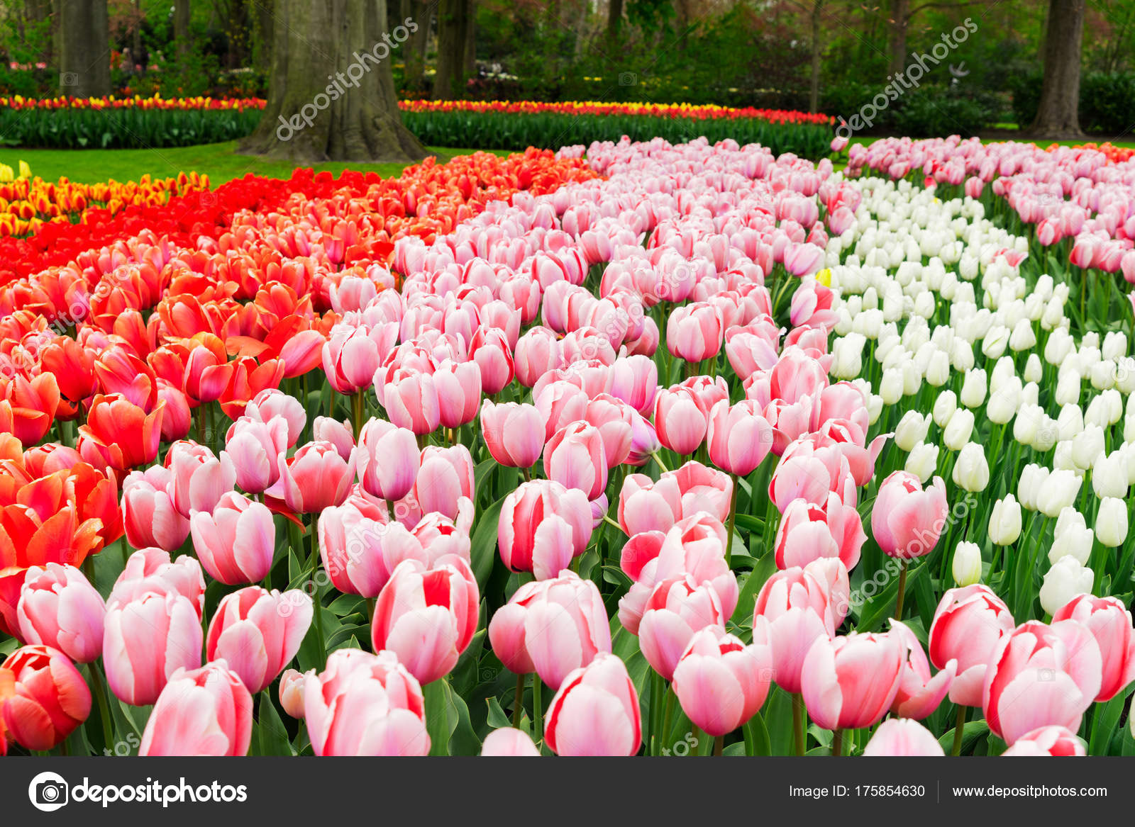 d6cc7e9b4fec Filas de flores de tulipán — Foto de stock © Neirfys  175854630