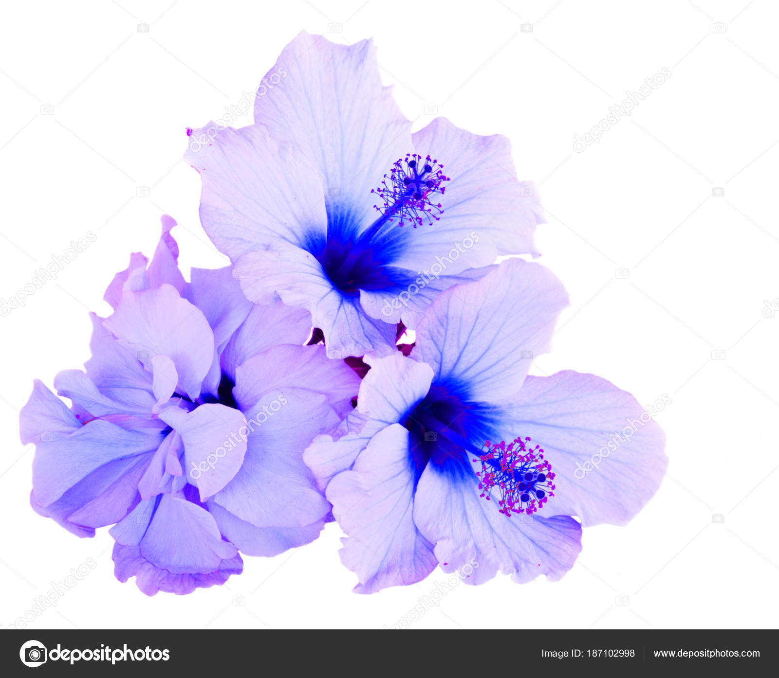 Orange hibiscus flower stock photo neirfys 187102998 tropical flower pile of blue hibiscus flowers isolated on white background photo by neirfys izmirmasajfo