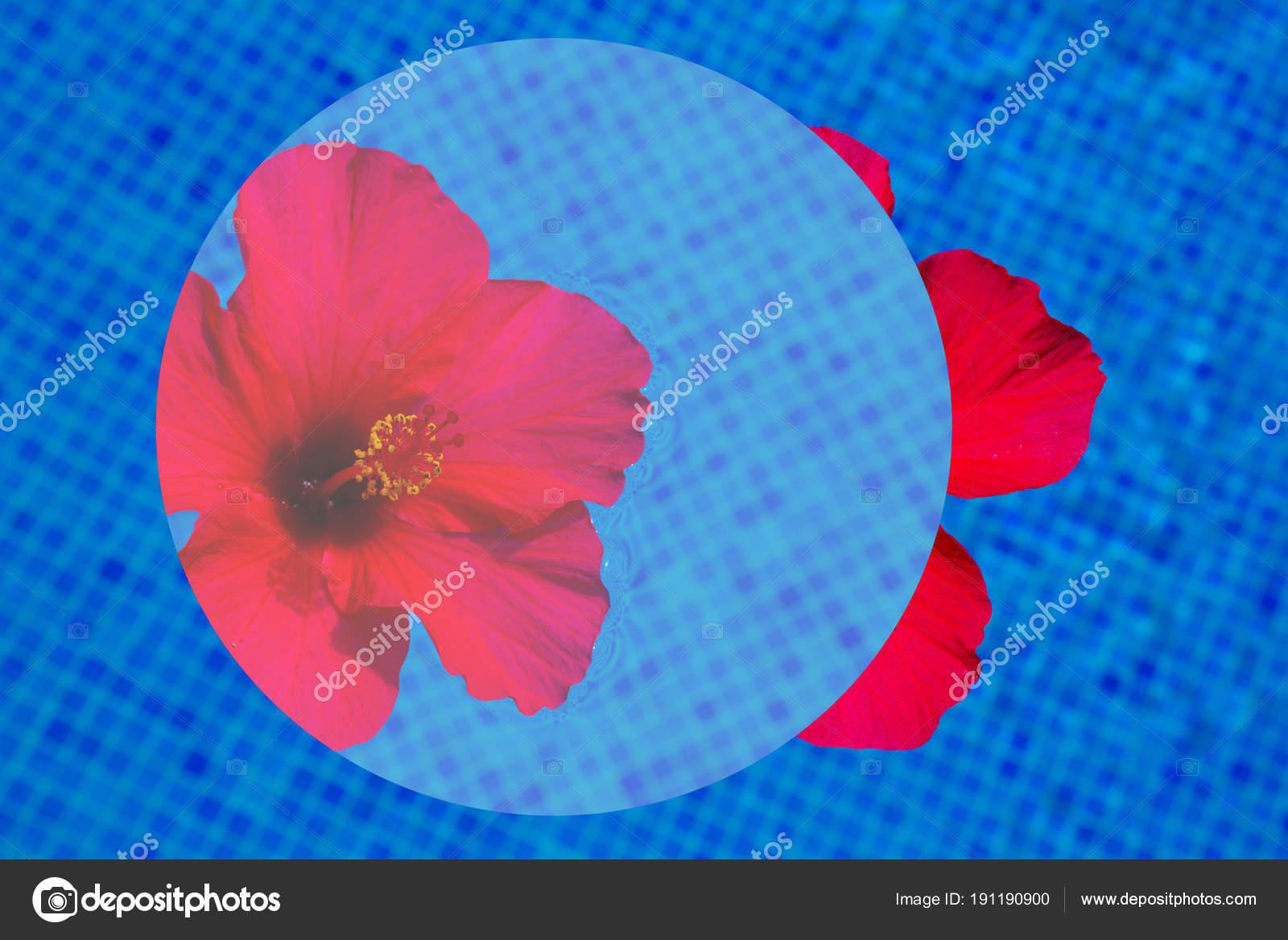 Hibiscus Flower In Fresh Water Stock Photo Neirfys 191190900
