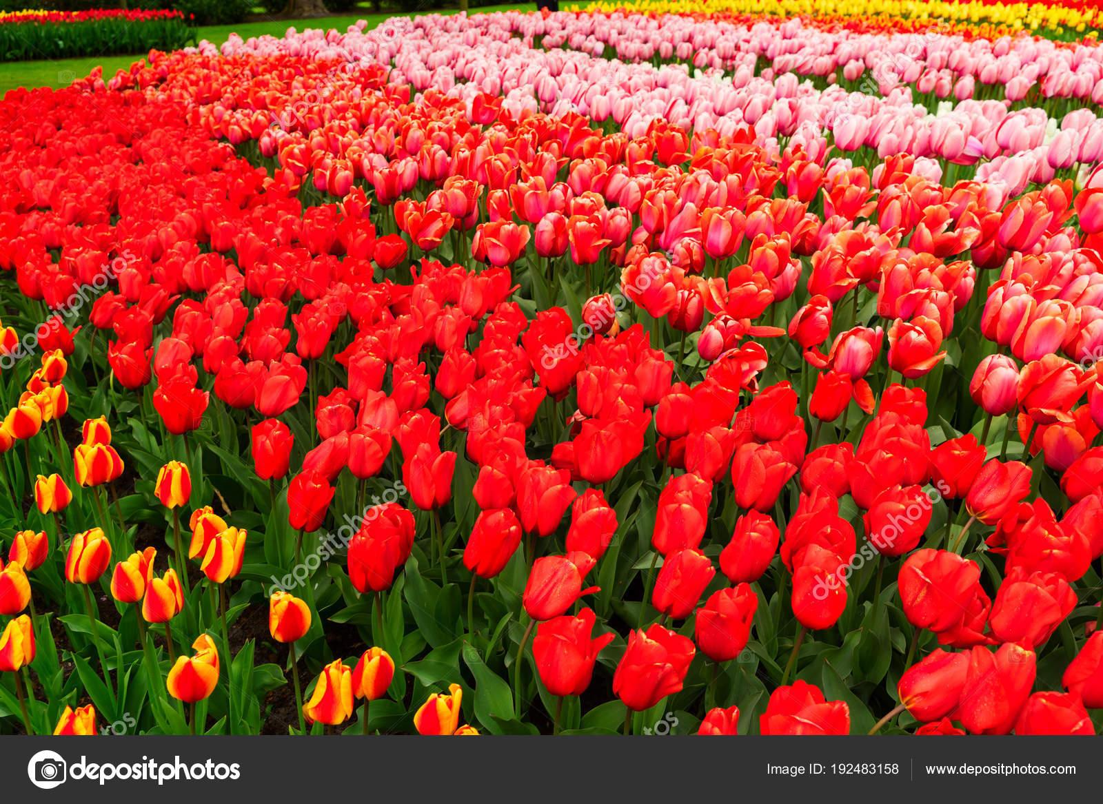 202c513e5410 Filas de flores de tulipán — Foto de stock © Neirfys  192483158