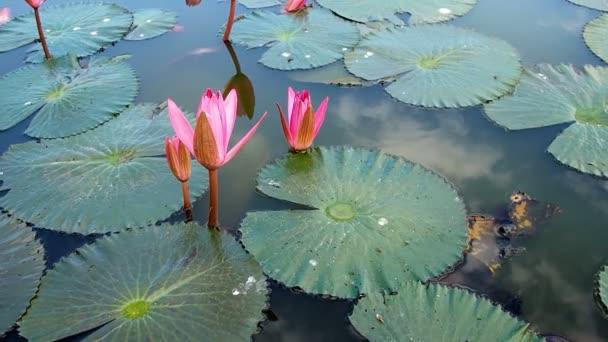 Rózsaszín lótusz a tóban