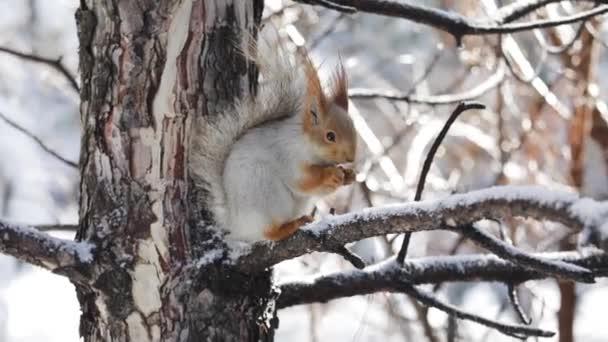 Vörös mókus dióval a kezében.
