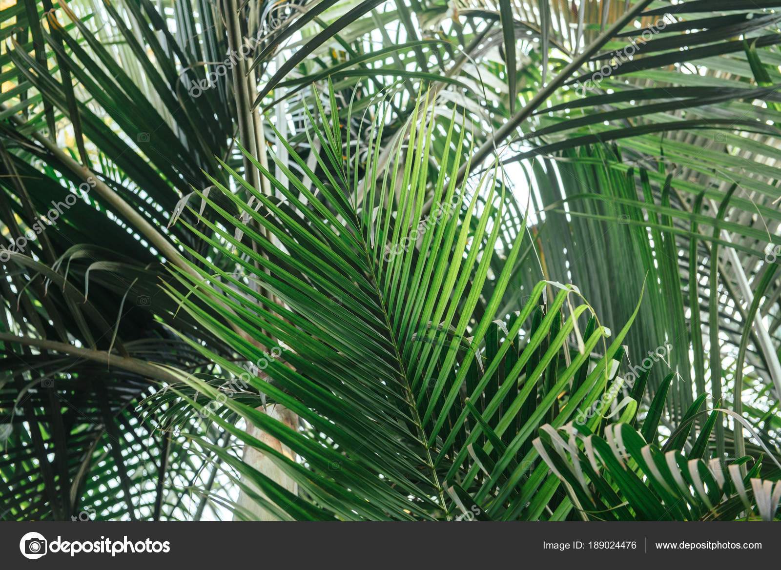 Hd Palm Tree Wallpaper Brunches Of Palm Tree Green Leaves Background Wallpaper With Thin Palm Leaves Stock Photo C Thirteen 189024476